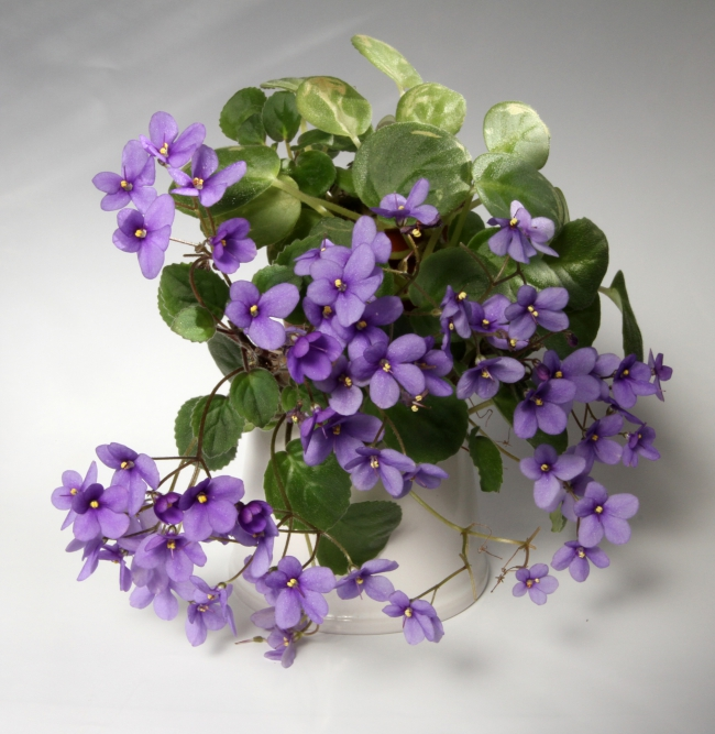 Fialky - Nejoblíbenější pokojové rostliny