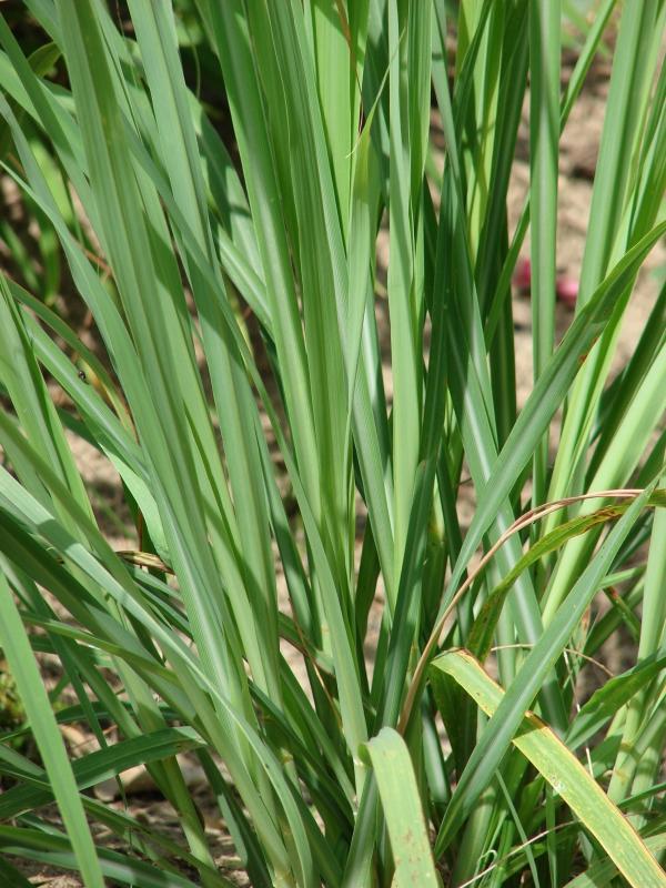 Praktické zkušenosti z ordinace: Cymbopogon citratus(Citronela, Lemon grass)
