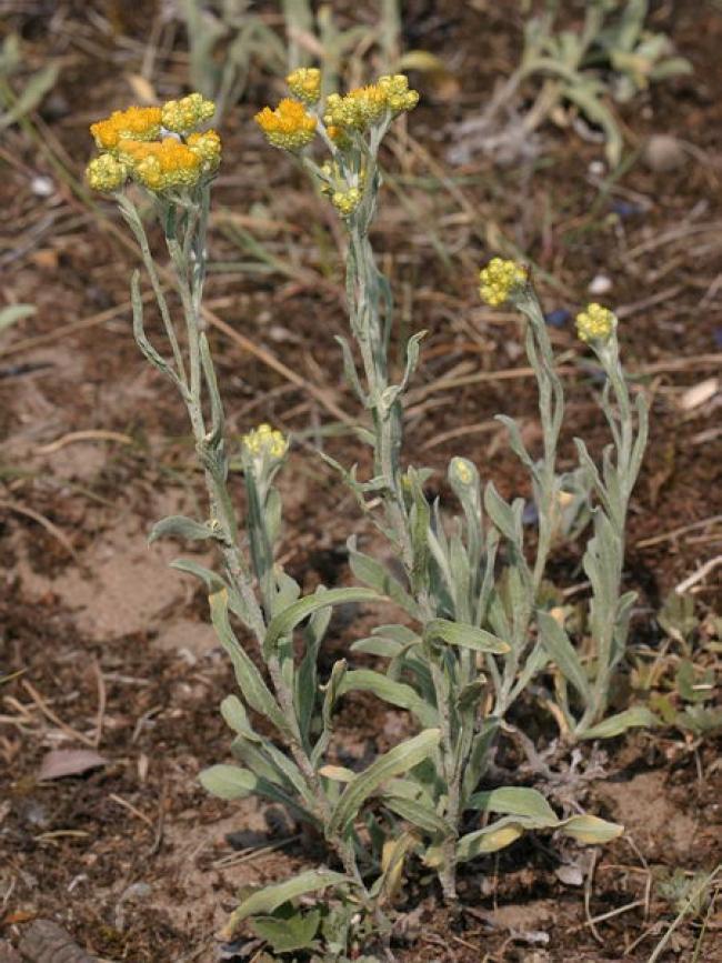 Helichrysum arenarium (Smil písečný) - zkušenosti z praxe