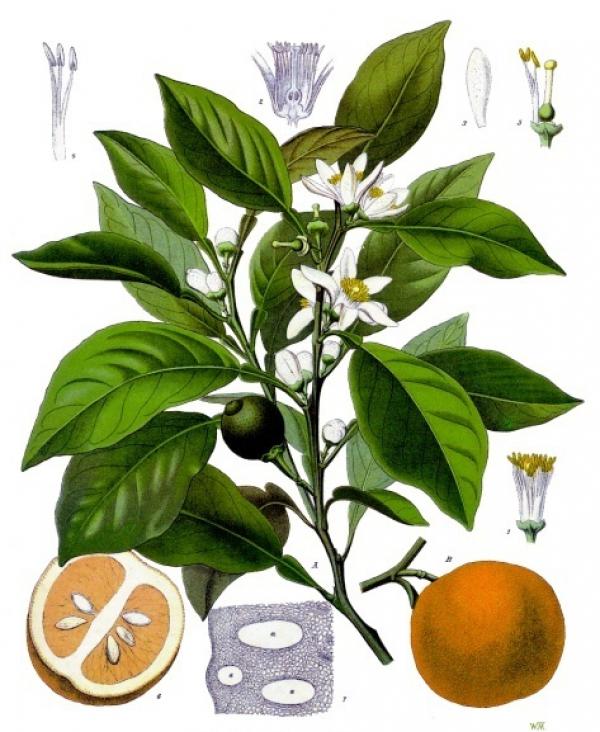 Citrus aurantium (divoký pomeranč) - zkušenosti z praxe